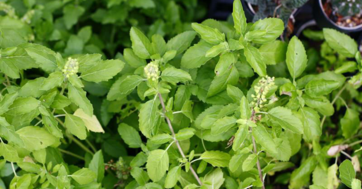 put-this-thing-at-the-base-of-the-basil-tree-on-saturday-evening-it-will-increase-the-income